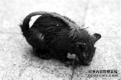 昨日,一只小动物出现在海淀区悦园小区里,经专家辨认为松鼠。 新京报记者 吴江 摄